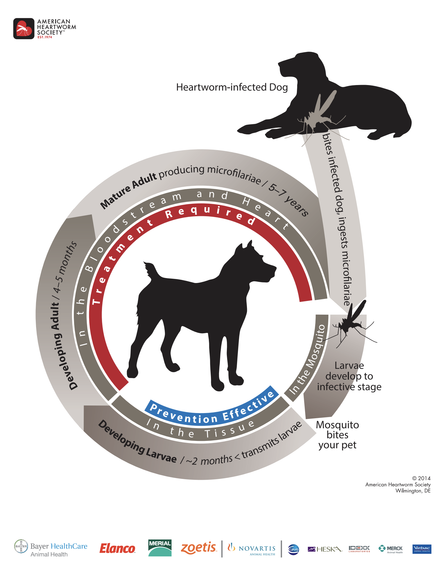 heartworm-cycle